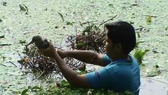 Chick rescue from pond (Saleh Reza) Tags: bird ecology university disaster imaging ru rajshahi pakhi