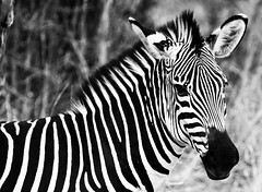 stripes (eb78) Tags: africa blackandwhite monochrome greyscale grayscale southluangwanationalpark zambia animals safari zebra travel