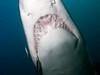 grey nurse swim over (ce2de2) Tags: ocean fish shark underwater scuba diving scubadiving reef byronbay greynurseshark visibility1012m