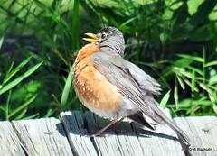 DSC_0316 (rachidH) Tags: birds robin americanrobin turdus merle merledamerique sparta nj rachidh nature oiseaux sun sunbathing