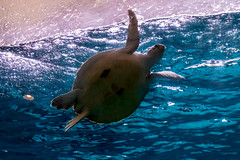 P1150401 (jinkemoole) Tags: seaturtle aquarium