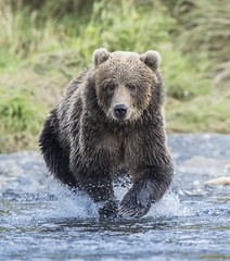 Salmon Fishing Bear (Explored) (Rick Derevan) Tags: alaska kodiak bear brownbear kodiakbrownbear