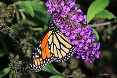 monarch butterfly (don.white55 That's wild...) Tags: monarchdanausplexippus harrisburgpennsylvania donwhite thatswildnaturephotography canone0s7od canoneos70defs55250mmf456isii animal butterfly insect nature wildlife butterflyplant