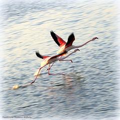 La course (Dominique Dumont Willette) Tags: flamandsroses eau mer mditranne camargue paca oiseauxsauvages lessaintesmariesdelamer