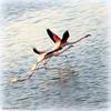 La course (Dominique Dumont Willette) Tags: flamandsroses eau mer méditérannée camargue paca oiseauxsauvages lessaintesmariesdelamer