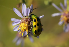 Flight of the Ladybug (Klaus Ficker --Landscape and Nature Photographer--) Tags: ladybug flower color closeup macro bug nature beauty beautiful usa kentucky kentuckyphotography klausficker tamron180mmmarco canon eos5dmarkiv
