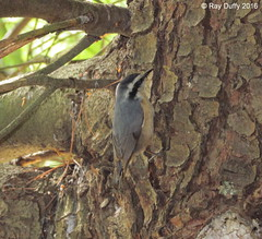 Red-breasted Nuthatch - Cloverdale Farm County Park Barnegat, NJ - 10/12/2016 (kdxshiryu) Tags: birds nature redbreasted nuthatch