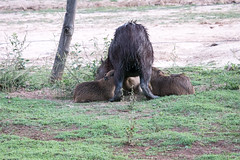 _1060506.jpg (riandar) Tags: safari mammals nature babycapybara pantanal capybara southwild brazil wildlife