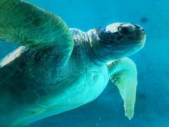 Sea turtle (Ryan-so) Tags: seaturtle