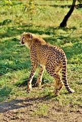 Cheetah in Opole zoo (nesihonsu) Tags: acinonyx jubatus felidae feline felid gepard carnivora opole zoo cheetah
