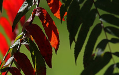 Changing In Private (jrussell.1916) Tags: leaves foilage autumncolors red green shadows illuminated sumac canonef70200f4lis14tc