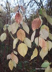 081-IMG_7646 (hemingwayfoto) Tags: cornusalba facebookalbum flickr frosthart frucht gegenständig hartriegel laubblatt natur purpurrot rinde strauch tartarenhartriegel weis weiserhartriegel zierstrauch