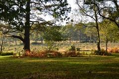 Sunny November (hapsnaps) Tags: hapsnaps hampshire newforest bolderwood 2016 winter trees bracken sunshine moorland woods naturethroughthelens