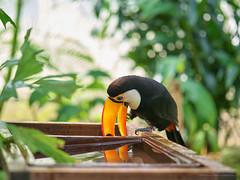 _IGP7631 1 (Kenichi Nishitake) Tags: toucan matsue vogelpark  tropics tropical  bird  shimane  645d