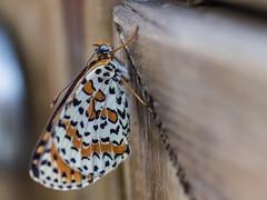 P9079737 (zullo_stefano) Tags: butterfly insect animals nature macro olympus zuiko zuiko50mmmacro e5 italy