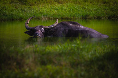 Asiatic Water Buffalo | FL, USA (rmehdee) Tags: buffalo mamal wildlife wild animal asiatic florida safari green water horn waterbuffalo bokeh life day unitedstates asiaticwaterbuffalo