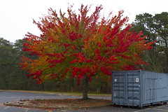 Beauty and the Beast (brucetopher) Tags: tree foliage red orange leaves rollaway dumpster storage box containter grey forest cloudy autumn fall leaf brilliant color colorful dazzling stunning changeofseason season