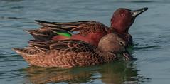 Mr. and Mrs. Cinnamon Teal (cetch1) Tags: cinnamonteal wild wildlife teal nature californiabirding birding ducks lasgallinas