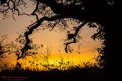 Hedgerow Sunset (TDR Photographic) Tags: canon dorset england thedorsetrambler uk autumn contrejour eos5d evening hedgerow landscape light possibles silhouettes sunset