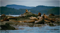 sea lions and a seagull sentry (marneejill) Tags: steller california sealions rocks home pacific ocean salish sea
