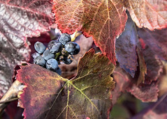 Missed one! (Patty Bauchman) Tags: vineyard grapes harvest winery wine sonomavalleyca california fallcolors fallleaves nature