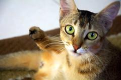 PIKU (Sajeeb75) Tags: cat animal indoor yellow white pet black day dhaka bangladesh