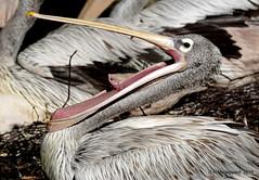 Pelikaan (ditmaliepaard) Tags: pelikaan vogel bird beeksebergen safarfipark a6000 sony hilvarenbeek ngc