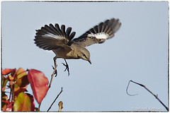Mockingbird (RKop) Tags: a77mk2 600mmf4apogminolta armlederpark cincinnati ohio raphaelkopanphotography sony wildlife