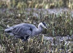 heron (sueandgraeme) Tags: heron leightonmoss