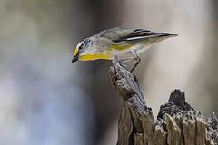 Striated Pardalote 2016-10-02 (60D_4014) (ajhaysom) Tags: striatedpardalote pardalotusstriatus woodlandshistoricpark greenvale melbourne australia australianbirds canoneos60d sigma150600