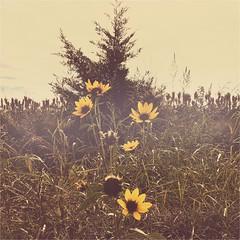 (yosmama151) Tags: iphone iphoneography mobilephotography edits square squareformat hipstamatic hipstamaticapp phototoaster phototoasterapp mabellens pistilfilm redeyegelflash stinchcomb stinchcombwildliferefuge oklahoma rural wildflower faded antique vintage