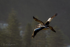 C85E1570.jpg (meerecinaus) Tags: bird longreef pelican beach