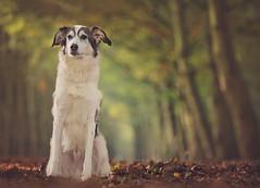 Max (xipevideo) Tags: dog shelter nikon 70200 dof trees cute d600 autumn fall leafs bokeh pet beyondbokeh nostrobistinfo
