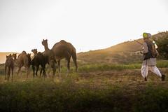 L1003256.jpg (Bharat Valia) Tags: pushkarfair bharatvalia desert rajasthanportraits bharatvaliagmailcom sheperd pushkarimages pushkarmela festivalsofindia camel pushkarcamelfair pushkar