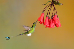 Booted Racket-tail (8017) (Bob Walker (NM)) Tags: bootedrackettail bora ocreatusunderwoodii bird hummingbird ecuador tandayapa