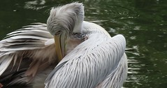 The Dalmatian pelican (Pelecanus crispus) (Mel's Looking Glass) Tags: the dalmatian pelican pelecanus crispus