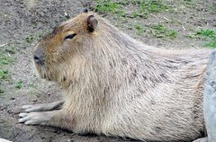 Hydrochoerus hydrochaeris --  Capybara 1169 (Tangled Bank) Tags: japan japanese asia asian hydrochoerus hydrochaeris capybara 1169 asahiyama zoo