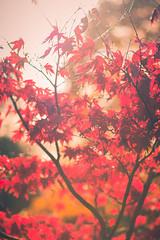 autumn leaves (A & A McKee) Tags: autumn leaves colours red tree light sun london england holland park nikon d7200 85mm 18g bright