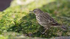 Rock Pipit, Galway (pstani) Tags: anthuspetrosus countygalway europe galwaycity ireland republicofireland bird pipit rockpipit