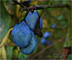 A Very English Fruit (Jan 130) Tags: damsons plums fruit food english forgottenfood artisticlicence topazsoftware ngc npc