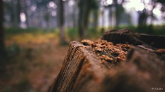 Tree - no more (worldwideshubham) Tags: tree jungle trees bokeh outdoor daylight