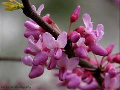 Sometimes you can make people forget the past.... (itucker, thanks for 2.6+ million views!) Tags: cercis redbud arboretum jn3 easternredbud macro bokeh raulstonarboretum pink hppt