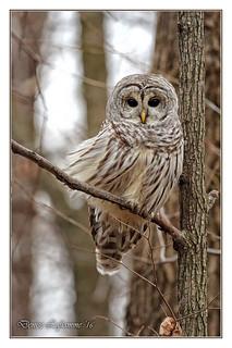 1E1A4803-DL   -   Chouette rayée / Barred Owl.