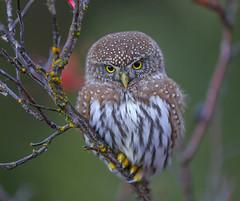 Northern Pygmy Owl (Up close and personal) (Khanh B. Tran) Tags: