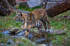 kleiner Hpfer 2 (Mel.Rick) Tags: zooduisburg tigercub tiger tigerbaby makar arila sibirischertiger sugetiere tiere raubtiere raubkatzen