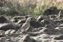 Horned lark (jlcummins - Washington State) Tags: hornedlark bird wildlife yakimacounty washingtonstate