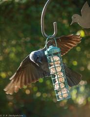 Jackdaw (D.B. Derbyshire) Tags: rossendale stacksteads jackdaw birds