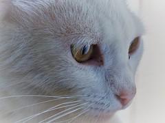 Cat (MonseValentina) Tags: cat white eyes yellow focus animal pet whiskers nose meow look nature gato amazing wonderful beautiful catslove