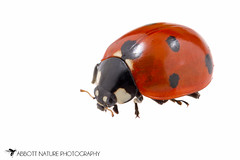 Seven-spotted Lady Beetle (Coccinella septempunctata) 20160821_2913.jpg (Abbott Nature Photography) Tags: animals arthropodaarthropods coccinellidaeladybirdbeetles coleopterabeetle hexapoda insectainsects invertebratainvertebrates organismseukaryotes photography polyphaga technique whiteseamlessbackground gordo alabama unitedstates us