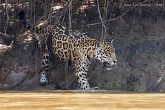 Jaguar (Panthera onca) (Jeluba) Tags: 2016 brazil brsil canon jaguar matogrosso pantanal nature wildlife flin mammal mammifre animal